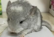 【摘文】龙猫毛毛圈症状及治疗