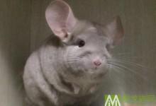 咖色龙猫特征及辨别方法 咖色龙猫分类