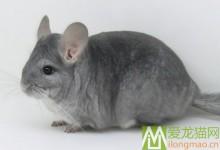 灰蓝龙猫特征 灰蓝龙猫辨别方法