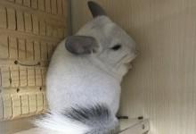 白色龙猫种类 哪些龙猫是白色龙猫