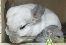 龙猫交配与繁殖的基本常识