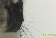 龙猫胡须变短和脱落的原因