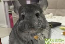 标灰龙猫特征及辨别方法 标准灰龙猫