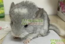 银斑龙猫特征 银斑龙猫辨别方法