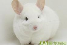 粉白龙猫特征 粉白龙猫辨别方法