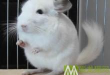 纯白龙猫特征 纯白龙猫辨别方法