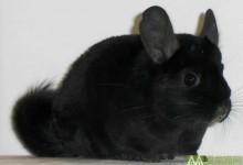 纯黑龙猫特征 纯黑龙猫辨别方法
