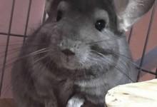 纯紫色龙猫体貌特征及辨别方法