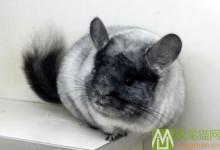 丝绒银斑龙猫特征 如何区分丝绒银斑和银斑龙猫