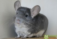 紫灰龙猫特征 紫灰龙猫辨别方法