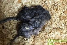 龙猫难产常见情况 龙猫难产原因及救治