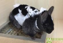 龙猫剖腹产手术 龙猫剖腹产术后护理
