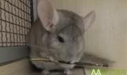 【已售出】转一只9个月米色龙猫MM 耳朵有残疾 500元处理