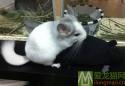 公龙猫频繁发情怎么办?