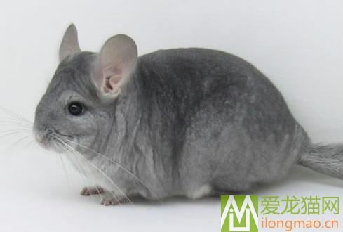 灰蓝龙猫图片