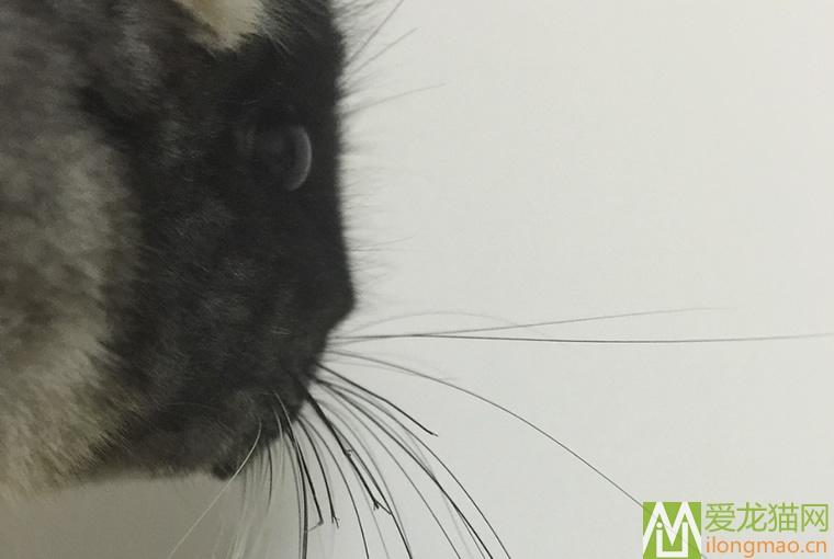 龙猫胡须被咬断