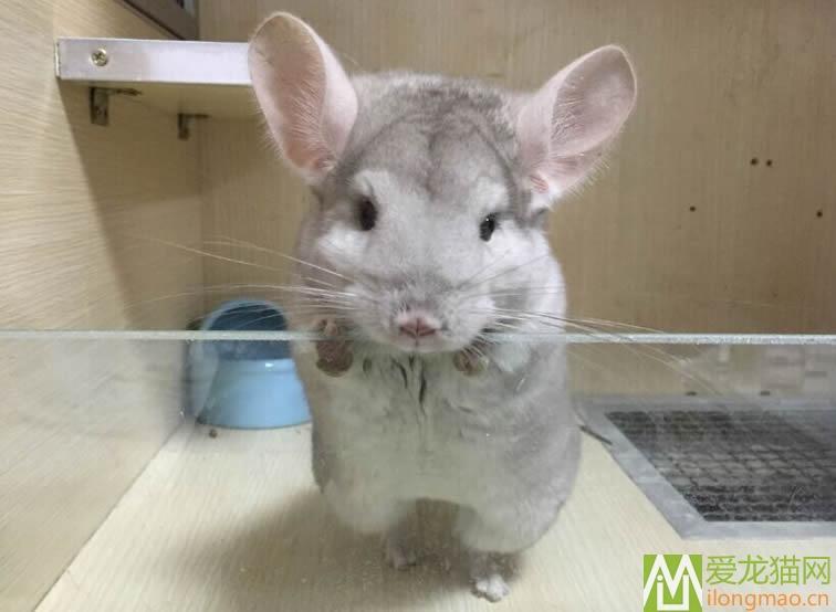 米色龙猫图片