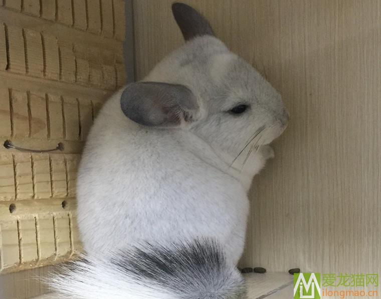 银斑龙猫6月龄照片