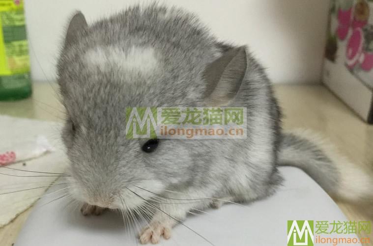 银斑龙猫出生10天照片