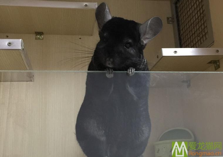深黑龙猫图片