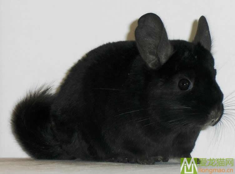 纯黑龙猫图片