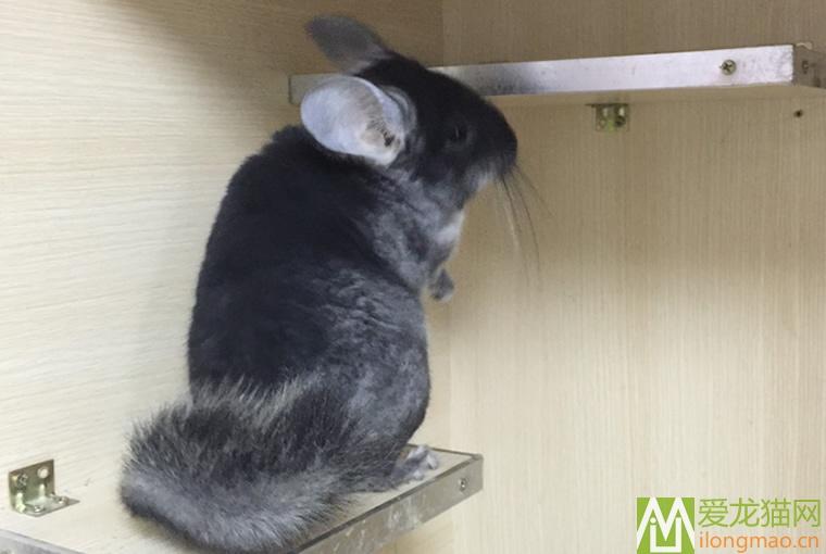 丝黑龙猫图片