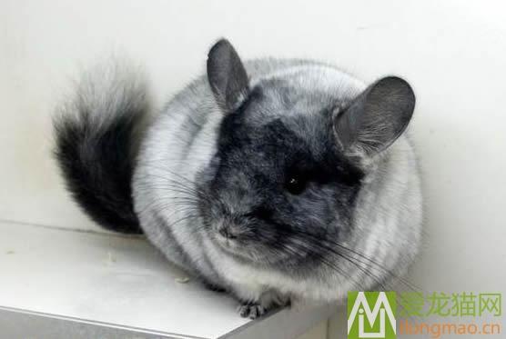 丝绒银斑龙猫图片