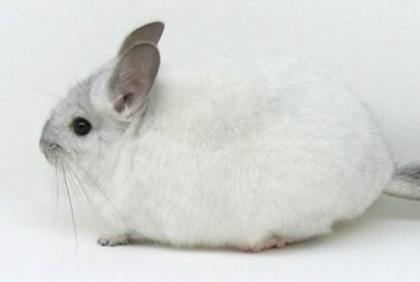 银白龙猫图片