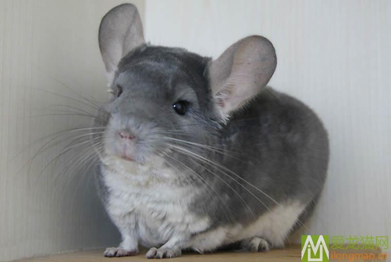 紫灰龙猫图片