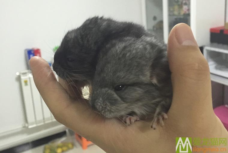 新生龙猫幼崽图片