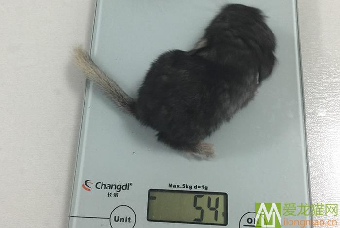 龙猫体重照片
