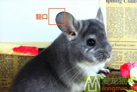 龙猫耳朵豁口