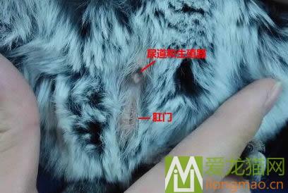 雄性龙猫辨别方法