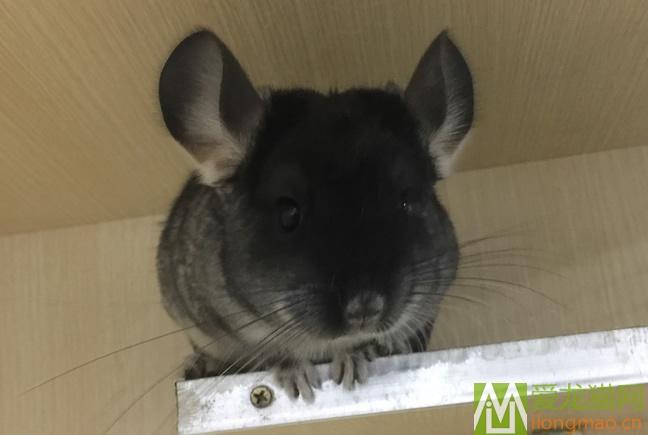 丝黑龙猫MM